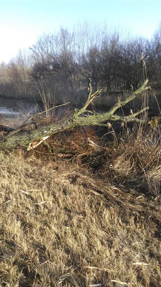 Bedőlt fák eltávolítása a vízfolyások medréből